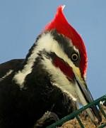 Gail Matthews - Pileated Male Woodpecker