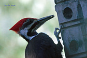 Ed Nicholles - Pileated Tongue