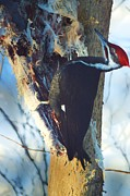 Dacia Doroff - Pileated Woodpecker