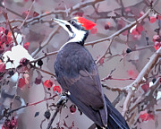 Daphne Sampson - Pileated Woodpecker In...
