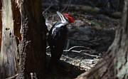 Pileated Woodpecker Print by James Petersen