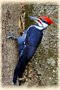 Dan Friend - Pileated Woodpecker on tree