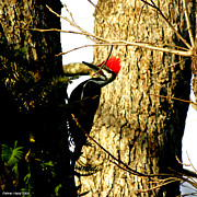 Palmer Hasty - Pileated Woodpecker Rare...