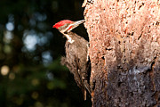 Bird On Tree Prints - PIleated Woodpecker Snack Time Print by Peggy Collins