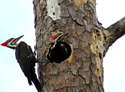 Pileated Woodpeckers Photos - Pileated Woodpeckers by Betty  Berard