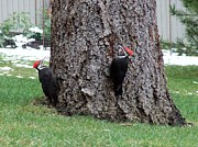 Pileated Woodpeckers Photos - Pileated woodpeckers by Will LaVigne