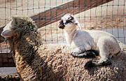 Sheep Photos - Pillow Top by Carolyn Rauh