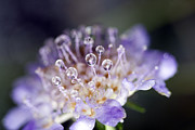 Flower Macro Posters - Pincushion Drops Poster by Rebecca Cozart