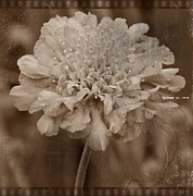 Horticulture Mixed Media Posters - Pincushion Flower Antiqued Poster by Chalet Roome-Rigdon