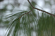 Evergreen With Snow Framed Prints - Pine Branch with Snow 1 Framed Print by Mary Bedy