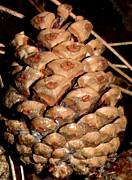 Gail Matthews - Pine Cone or Pine Apple