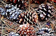Pine Cones Photo Originals - Pine Cones by Jamie Shaw