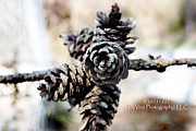 Pine Cones Photo Originals - Pine Cones by Stephani JeauxDeVine