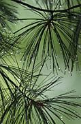 Pine Needles Photos - Pine Droplets by Judy  Johnson