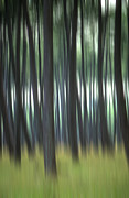 Conifer Prints - Pine forest. Blurred Print by Bernard Jaubert