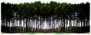 Marcia Lee Jones Framed Prints - Pine Forest Framed Print by Marcia Lee Jones