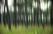 Conifers Prints - Pine forest.Blurred Print by Bernard Jaubert