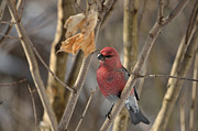 David Porteus - Pine Grosbeak