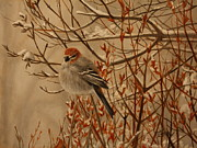 Bird On Tree Metal Prints - Pine Grosbeak Metal Print by Tammy  Taylor