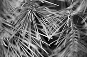 Pine Needles Digital Art Framed Prints - Pine Needle Abstract Framed Print by Susan Stone