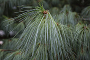 Pine Needles Photos - Pine Needles by Arlene Carmel