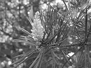 Pine Needles Photo Originals - Pine Needles by Gene Cyr