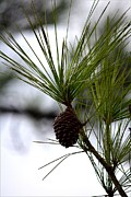 Pine Needles Photo Originals - Pine Needles Growing Up by Patricia Twardzik