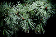 Ice-covered Prints - Pine Needles in Ice Print by Betty LaRue