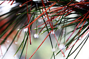 Maree Lewis - Pine needles