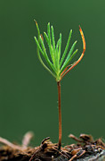 Pinaceae Prints - Pine  Sapling Sprouting Print by Hugo Willocx
