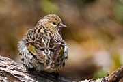 Song Bird Digital Art - Pine Siskin by Christina Rollo