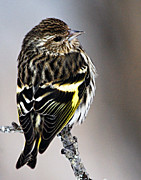 Wildlife Images Framed Prints - Pine Siskin Framed Print by Larry Ricker