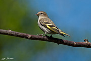 Jeff Goulden - Pine Siskin Perched on a...