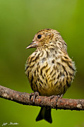 Jeff Goulden - Pine Siskin With Yellow...