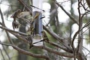 Lund Framed Prints - Pine Siskins in Flight Framed Print by Leone Lund