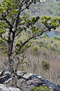 Pine Tree On A Mountain Print by Susan Leggett