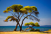 Umbrella Pine Posters - Pine trees by the beach Poster by Gabriela Insuratelu