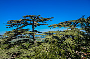 Dany  Lison - Pine Trees