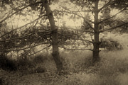 Peter Fodor - Pine trees in sepia tone