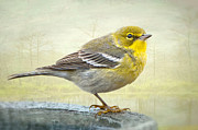 Warbler Photos - Pine Warbler by Bonnie Barry
