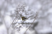 Travis Truelove Photography Posters - Pine Warbler in the Snow - Better Than Red Poster by Travis Truelove