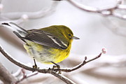 Travis Truelove Photography Posters - Pine Warbler is Cold and Beautiful Poster by Travis Truelove