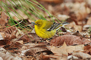Wood Warbler Framed Prints - Pine Warbler on Ground Framed Print by Alan Lenk
