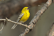 Wood Warbler Prints - Pine Warbler Singing Print by Alan Lenk