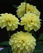 Flower Express Photos - Pineapple Express Dahlias by Jeanette C Landstrom