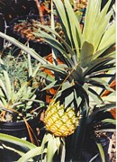 Home Grown Posters - Pineapple Poster by Robert Floyd
