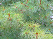 Pine Needles Posters - Pines - Digital Painting Effect Poster by Rhonda Barrett