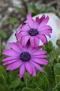 Tracey Harrington-Simpson - Pink African Daisies