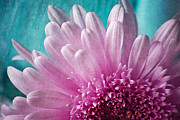 Gerbera Art - Pink And Aqua by Dale Kincaid