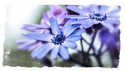 Blue Flowers Posters - Pink and Blue Cineraria Poster by Julie Palencia